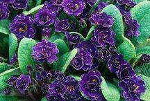 flori cv