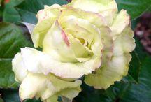Roses speak of love