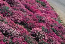 Plants for Hillsides and Slopes / Aubrieta