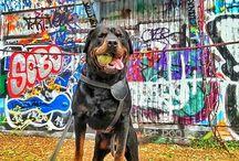 Efe Rottweiler / My Dog Efe, Rottweiler