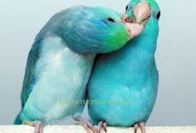>> Parrotlet <<