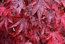 Japanese Maples / Garden worthy Japanese Maples
