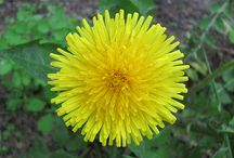 hvězdnicovité (Asteraceae)