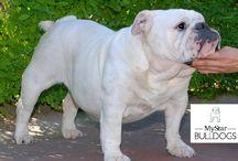 bulldog inglese Star Delicia / cani