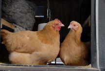 Belles photos de poules, poussins, coqs
