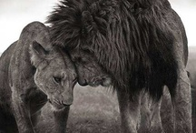 Lioness love  / by G