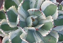Agave / Agave / by Karen Hine