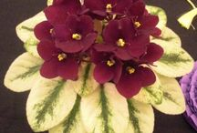 Violets / African violets / by Lore Carlisle