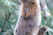 Reference: Arctic Ground Squirrel