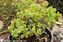 More tips for growing Jade plant / Jade plant