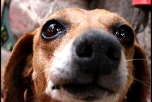 Coffi ❤ / Doxie (US) Dackel o Teckel (GER, FR) Wiener dog/hotdog (US) Sausage dog (UK/AUS) Teckel (NL) Bassotto (I) Worshond (S.A.) Perro salchicha