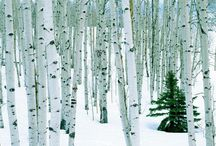 Birch trees / by Christina Lickmann