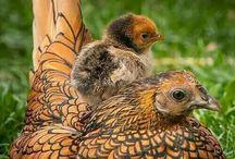 Chicken s