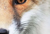 Vulpes and Fox