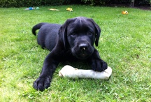 Max / Onze labrador
