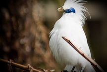 Endangered Indonesian birds / One of FNPF's most important projects is to bring back the endangered Bali Starling from possible extinction.  It is one of the most critically endangered birds in the world.    In 2005 there were only 5 birds left in the wild. Now there are 118 in Nusa Penida, where we transformed the island into a bird sanctuary.
