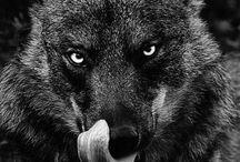 wolfs / wolfs everywhere