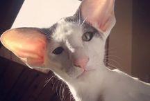 고양(코니쉬렉스,하비캣