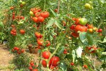insecticid rosii