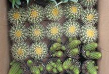 pinos, cactus