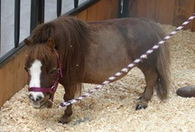 SMALLEST HORSE IN THE WORLD --GUINNESS BOOK RECORD HOLDERS / Established record-holding Smallest miniature horses in the world