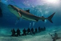 Sharks / by Joseph Aquilino