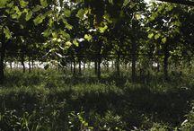 The Vineyard / Il posto primario da dove nasce il nostro Balsamico!