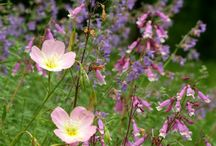 Oenothera Combinations / Plant partnerships that include evening primroses, sundrops, and other oenotheras