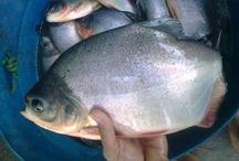 Pembenihan Ikan Bawal