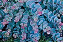 Ground Covers for Fall / Ground covers are the perfect solution for bare areas, under trees, in difficult to mow areas or in spaces where grass can't grow. With shallow, sturdy roots, ground covers are easy to grow and require low maintenance, and are also known for controlling weed growth, which can cut your weeding time in half, giving you more time to enjoy your garden. Experience the benefits of ground covers and shop our colorful and popular varieties at MichiganBulb.com!
