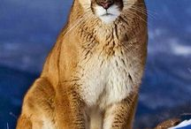 Lions and other Feline Beauty