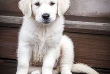 Chiots Golden Retriever