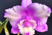 Minhas orquideas