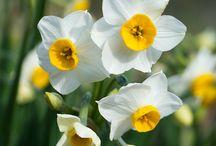 Bloemen - Narcissen