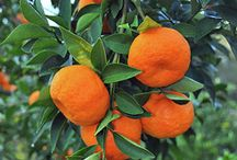 Tangerinas laranjas e pomar