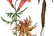 Devil's Claw Herb Health Benefits and Information