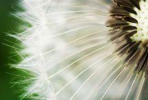 Dandelion Mania