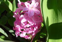 Kvetoucí hyacint: Václav Kovalčík, Zlín / Detail květu hyacintu na zahradě u nás doma...