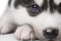 Huskys