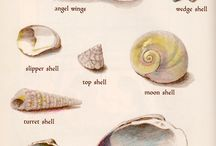 cientific illustration - shells