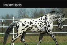 Horse - colours / Масти лошадей
