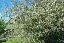 Äppelträdet blommsr