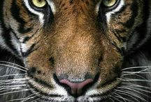 El Tiger