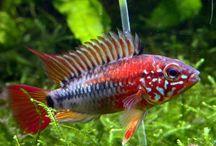 ikan apistogramma