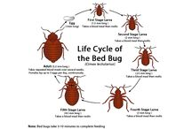 Dfw bed bug pest control / Natural DFW Bed Bug Pest Control is the preferred way to get rid of these pests because it can be very dangerous to put hazardous pesticides on your bed. These pests are found all over the world and humans just happen to be their favorite food. One of the worst things about these pests is that they can grow from a mild problem to an infestation very quickly because they are able to lay 200 eggs at a time.