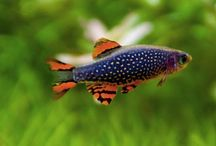 aquascape fish / higj varriant of fish for aquascape