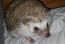 little spikes hedgehogs