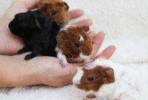 I Love Guinea Piggies
