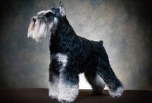 TJ / GCH CH Reberstein's Time Jumper (TJ)  TJ is a black and silver male AKC Grand Champion.  Currently TJ is ranked as the #1 Miniature Schnauzer in the state of Florida.  TJ was also ranked as the #6 Miniature Schnauzer nationally in 2014.  We plan to start showing TJ again real soon.