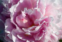 Dettagli / Meravigliose peonie #peonie #peony #pivoine #flower #garden #green #floreale #bloom